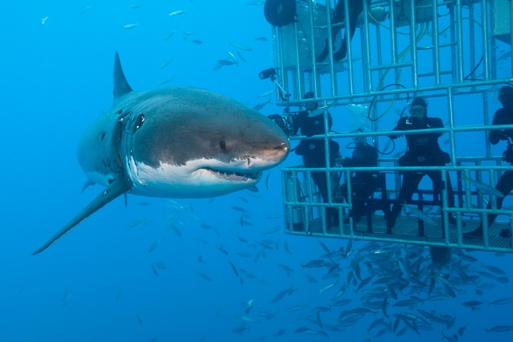 (GERMANY OUT) Great White Shark Cage Diving, Carcharodon carcharias, Guadalupe Island, Mexico  (Photo by Reinhard Dirscherl/ullstein bild via Getty Images)