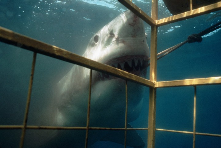 ca. 1980s-1990s, Australia --- A great white shark devours bait set outside a shark cage. --- Image by © Amos Nachoum/Corbis