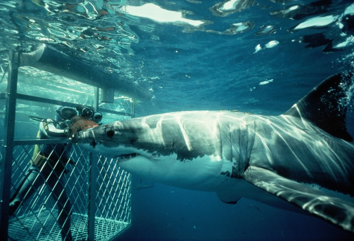Australia --- A great white shark and a scuba diver protected by a cage inspect each other along Dangerous Reef in south Australia. --- Image by © Jeffrey L. Rotman/Corbis