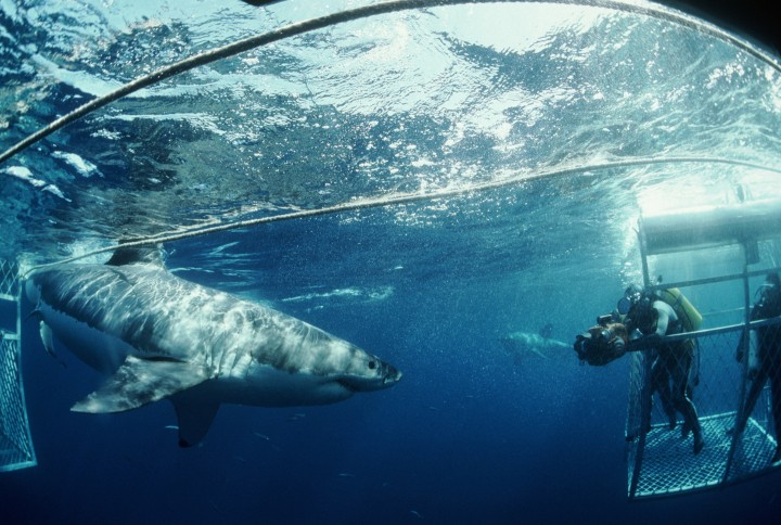 ca. 1975-1990s, Australia --- Diver in Cage Photographs Shark --- Image by © Jeffrey L. Rotman/Corbis