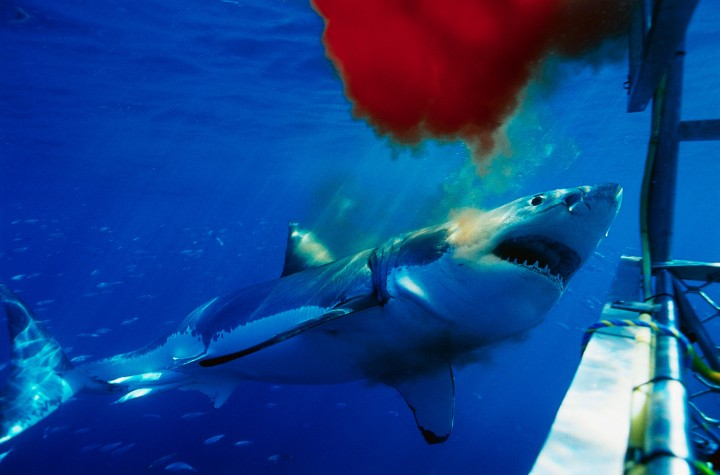 Great White Shark Swimming by Chum and Shark Cage --- Image by © Ralph A. Clevenger/CORBIS