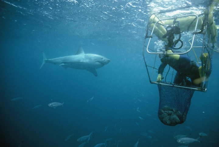 AUSTRALIA - FEBRUARY 04:  A great white shark nears an abalone diver's mobile cage. Great Australian Bight, Indian Ocean, Off Hopkins Island, South Australia, Australia  (Photo by David Doubilet/National Geographic/Getty Images)